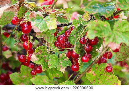 Red currants hanging on a branch in fall.