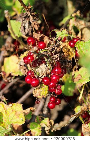 Red currants hanging amoungst drying leaves in fall.
