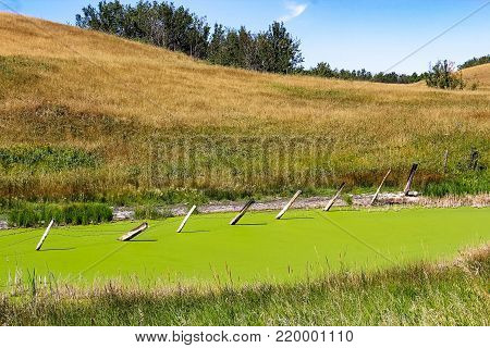 A fence in the middle of a vibrant pond of duckweed.