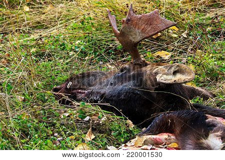 The head and hide of a moose discarded after a hunt.