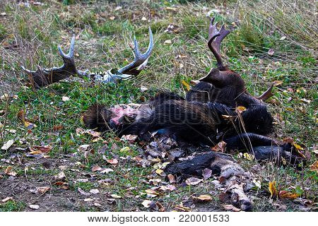A moose head and hide discarded beside weathered antlers.