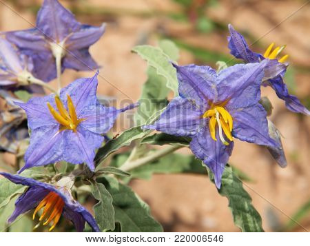 The purple flowers of a poisonous Silverleaf Nightshade native to Arizona.
