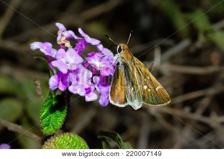 A Texas Roadside Skipper feeding on a wildflower in Arizona. This species of Skipper is native to the whole southwestern region of the USA.