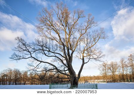 Old Oak in Gatchina Park almost 250 years, winter