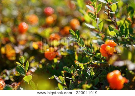 Cloudberry Grows In The Forest. North Karelia.