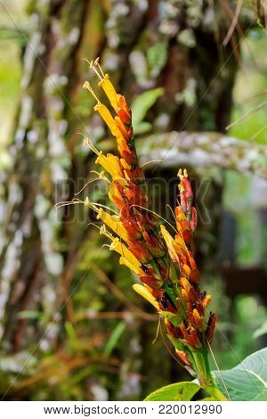 Closeup of Sanchezia yellow orange flower growing in forest at fraser's hill, Malaysia, Asia