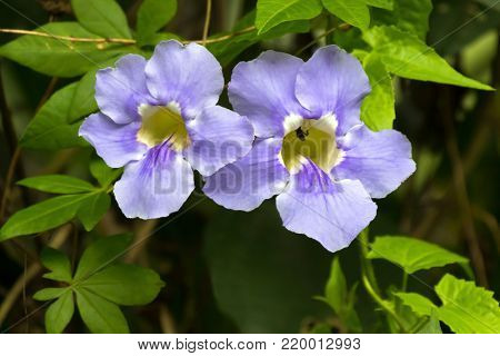 Closeup Blue trumpet vine flower in blue with yellow inside, growing in Asia (Thunbergia laurifolia)