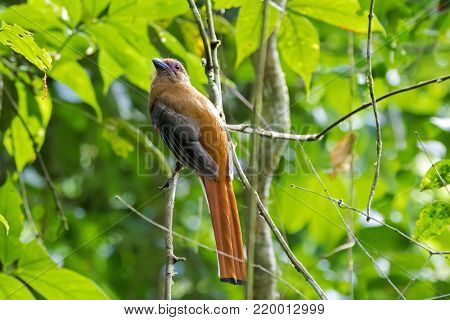Red-headed trogon bird, side profile, perching on tree branch in forest at fraser's hill, Malaysia, Asia (Harpactes erythrocephalus)