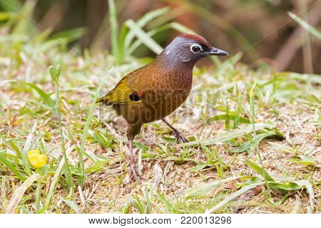 Chestnut-crowned Laughingthrush bird walking on the ground at fraser's hill, Malaysia, South east Asia (Trochalopteron erythrocephalum)