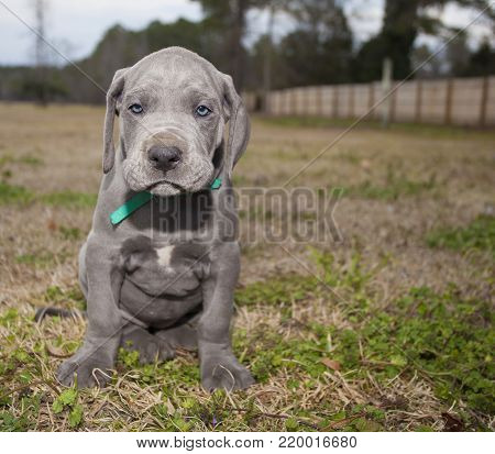 Great Dane purebred puppy that looks like it is mad
