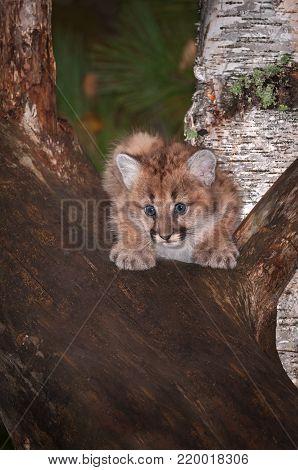 Female Cougar Kitten (Puma concolor) Stare - captive animal