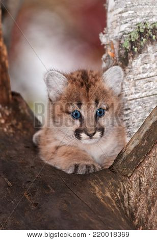 Female Cougar Kitten (Puma concolor) Sits Paw Forward in Tree - captive animal