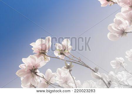 Magnolia Grandiflora faces the spring blue sky
