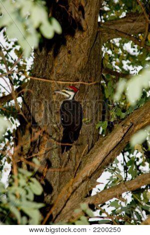 Female Pileated Woodpecker (Dryocopus Pileatus)