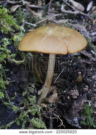 Deer Shield Fungus - Pluteus cervinus  Toadstool on rotting stump