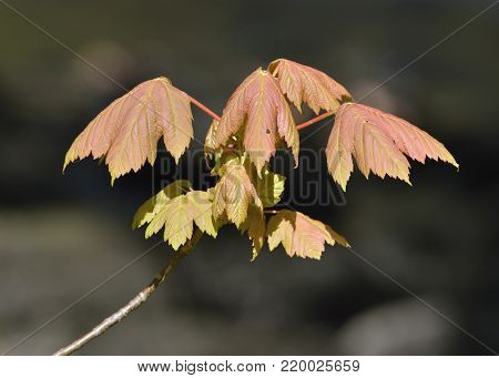 Sycamore - Acer pseudoplatanus  Fresh spring leaves