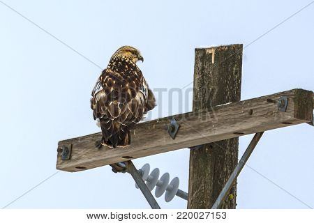 Perched hawk on a post. A beautiful hawk is perched on a wooden pole near Davenport, Washington.