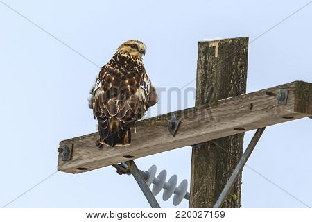 Perched hawk looks at camera. A beautiful hawk is perched on a wooden pole near Davenport, Washington.