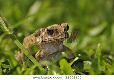 Black Spined Toad In The Grass