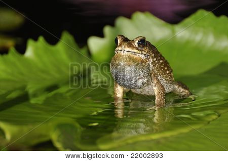 Black Spined Toad Singing On A Waterlily Leaf