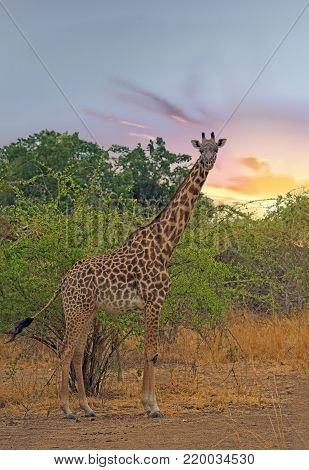 A solitary Giraffe stands looking ahead with a natural bush background in South Luangwa National Park, Zambia