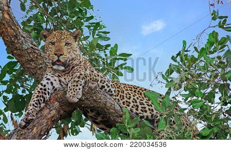 Alert looking male african leopard (panthera pardus) relaxing in a tree looking directly ahead, south luangwa national aprk, zambia