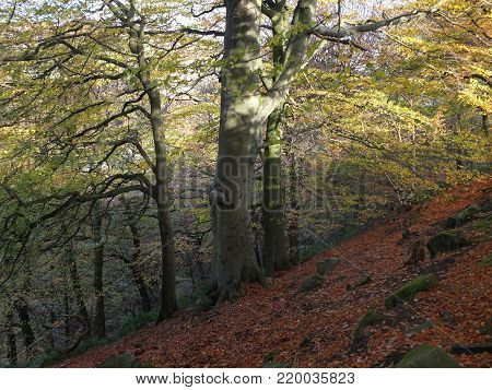 beech forest on a steep slope with dappled sunlight falling on ancient trees and leaves on the hillside woodland floor with scattered rocks