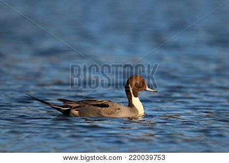 A male northern pintail duck swimming on a blue lake.