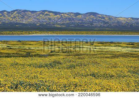 Beautiful yellow wildflowers around blue lake and hills at Carrizo Plains, California