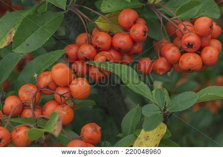 Rowan berries, Mountain ash Sorbus tree with ripe berry