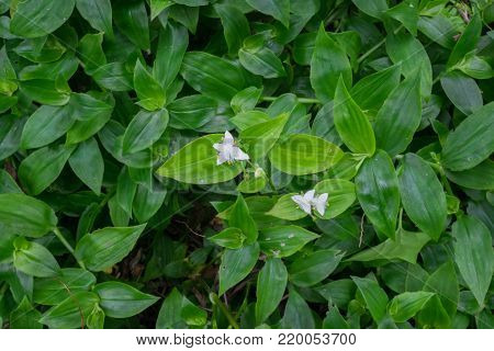 Tradescantia fluminensis - known as Wandering Jew or Wandering Willy, plant is an invasive weed in New Zealand, NZ but an ornamental garden plant elsewhere. Green plant vegetation growing up tree. Landscape orientation with white flowers.