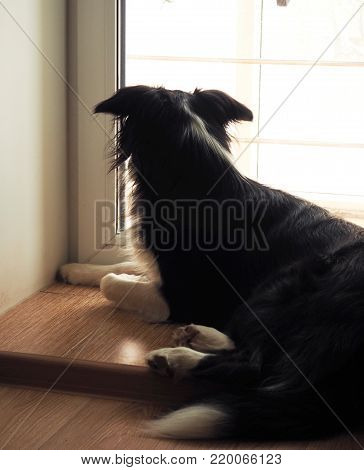Border Collie is sitting near big window. Back view. Back side of Border Collie.