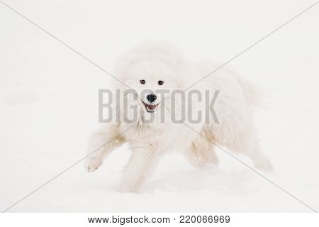 Funny Young White Samoyed Dog Or Bjelkier, Smiley, Sammy Playing Fast Running Outdoor In Snow, Winter Season. Playful Pet Outdoors.