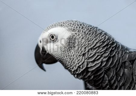 Artistic portrait of an intelligent look from an Congo African Grey Parrot