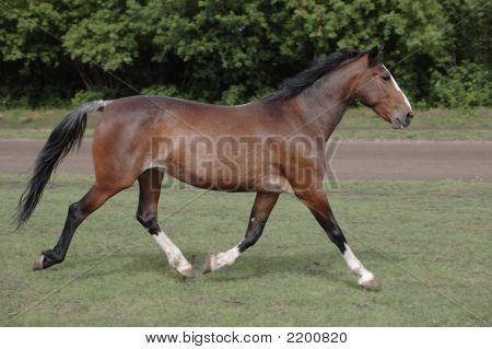 The Bay Horse Runs On A Meadow