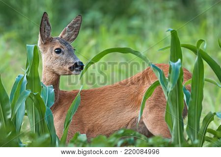 Portrait of roe deer doe female in summer. Close-up of wild animal with fresh colors.