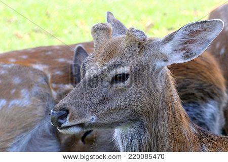 Deer. Zakarpattia Region. Ukraine. 2017 Close up of a head of a deer facing the camera, in blurry background