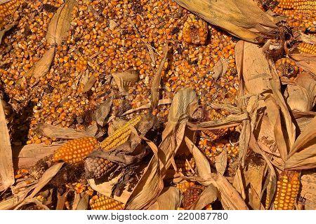 Ears of ripe corm, husks, stalks, cobs, and kernels lie in a huge  pile.