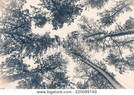 Old Vintage Photo. Tree Pine Spruce In Magic Forest Winter With Falling Snow. Snow Forest. Christmas