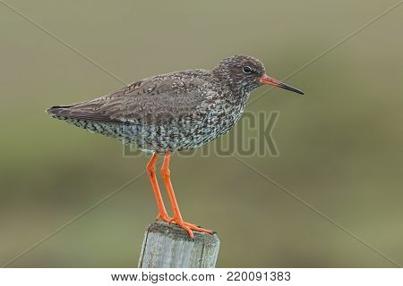 Common redshank, Tringa totanus, with blurred background. Wader bird breeding in grassland of marshes and wetlands. Animal of Iceland.