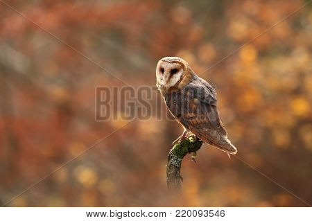Tyto alba. Autumn nature. Wild nature of Czech. Owl in autumn nature. Beautiful Autumn in Czech. Wild nature. Barn Owl, photographed in the Czech Republic. A medium-sized species of owls. Found in Europe.