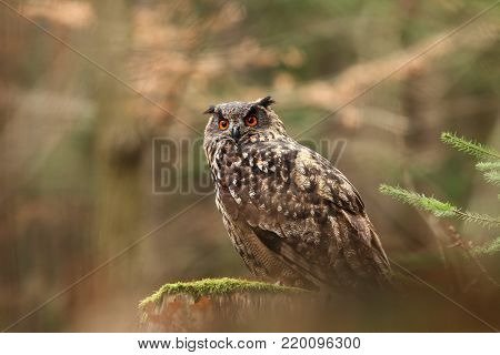 Bubo bubo. Owl in a natural environment. Wild nature of Czech. Autumn colors in the photo. Owl Photos.Owl. Photo was taken in the Czech Republic.