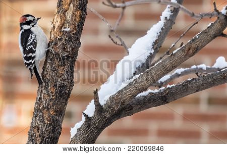 Downy Woodpecker Looking for Insects on a Tree in the Winter