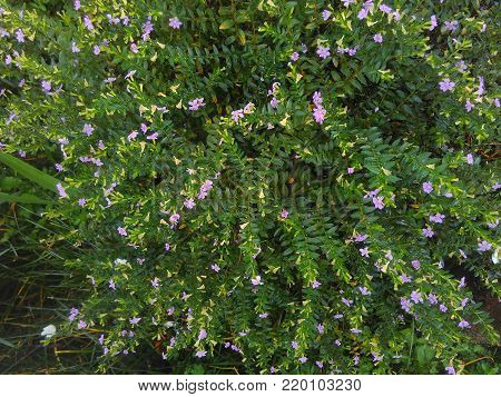 Texture and backgound of False Heather, Mexican false heather, Hawaii false heather, elfin herb, or Cuphea hyssopifolia