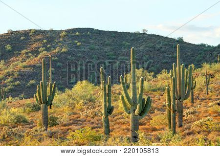 Several saguaro cactus in the Sonoran desert with a mountain.