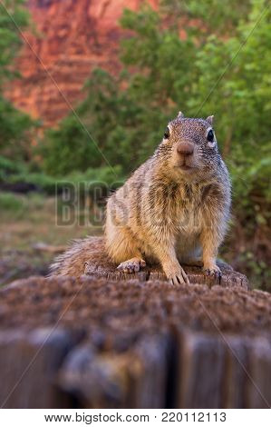 Close portrait of a cute Uinta Ground Squirrel.