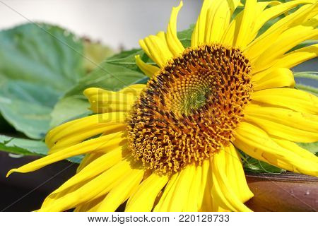 A close up of a yellow Sunflower