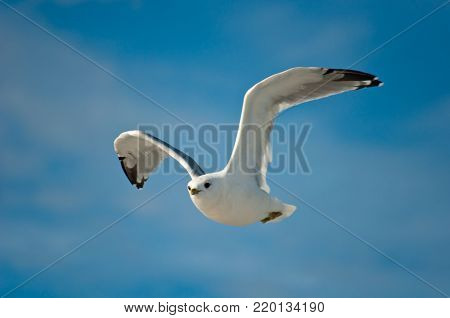 White seagull with black wingtips flying in the sky, flapping wings