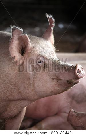 Close-up of a young big domestic pig at animal farm indoors.  Close-up of a young big domestic pig at animal farm indoors.Horizontal front view head shot close up of mighty pig sow in the barn