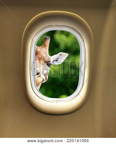 Gorgeous giraffe peeking in through the window of an airplane with space for text. Giraffe looking at the camera as if to say You looking at me?
